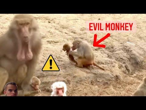 Crazy cannibal monkey eats whole poor baby monkey! Shocking!!
