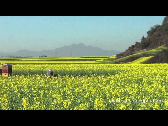 Amazing Canola field of Luoping  Yunnan Southwest China