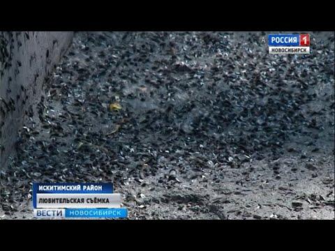 Жужжащее полчище: поселок Линёво атаковали зеленые мухи