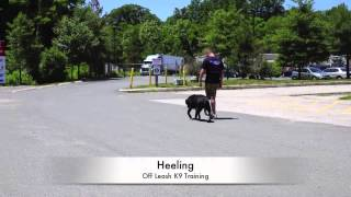Best 1-year Old Black Lab Lewie: Lab Training In Northern Virginia New