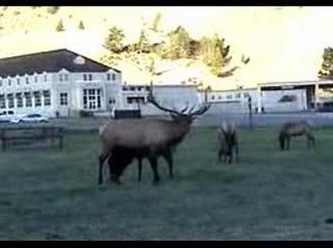 Elk Bugle - Mammoth Hot Springs, Yellowstone