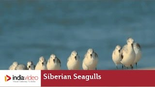 Thousands of Siberian Seagulls at Chavakkad beach, Thrissur, Kerala