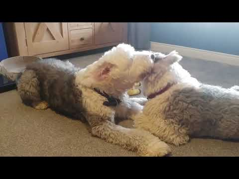 Teddy and Panda Cleaning Routine 😂😫😌 Old English Sheepdog Love!