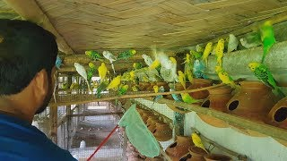 Budgies Parrot Purchase From 700 Pairs Breeding Farm / Budgies Parrot Price