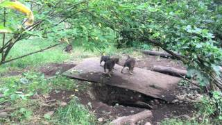Red wolf pups playing