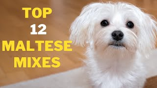12 Cute Maltese Mix Breeds That will Melt your Heart