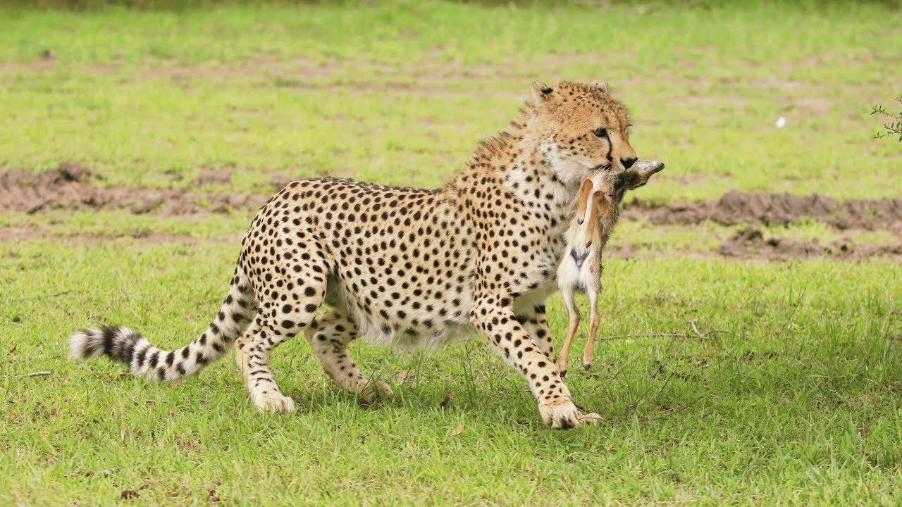 Must watch! Cheetah Malaika's cub hunts a baby Kirk's Dik Dik - Masai Mara,  Kenya safari