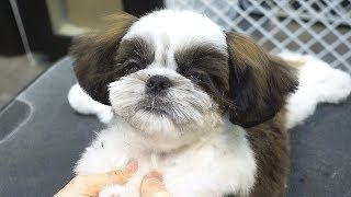 Sleeping Baby Shih Tzu Dog While Cutting Hair.