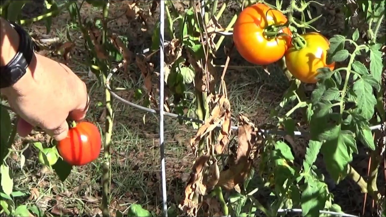 Tomato Harvest from Zeus Barge Garden at Whitehall - YouTube