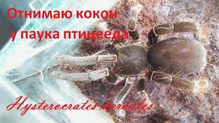 Отнимаю кокон у паука птицееда Hysterocrates hercules. Разведение пауков.