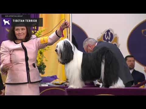 Tibetan Terriers | Breed Judging 2020