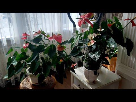 Как стимулировать антуриум на быстрый рост и обильное цветение