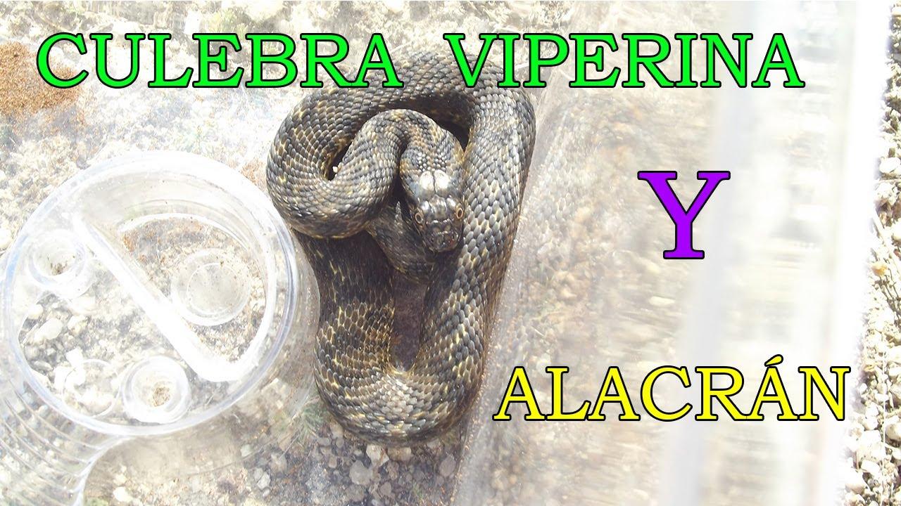 Buscando animales Culebra Viperina y Alacrán