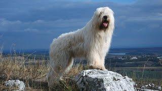 Южнорусская овчарка - белая и пушистая