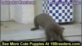 Labrador Retriever, Puppies, For, Sale, In, Jacksonville,florida, Fl,tallahassee,gainesville,