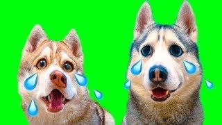 КОГДА ХАСКИ ПЛАЧУТ... (Хаски Бублик) Говорящая собака