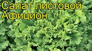 Салат листовой Афицион. Краткий обзор, описание характеристик, где купить саженцы Afitcion