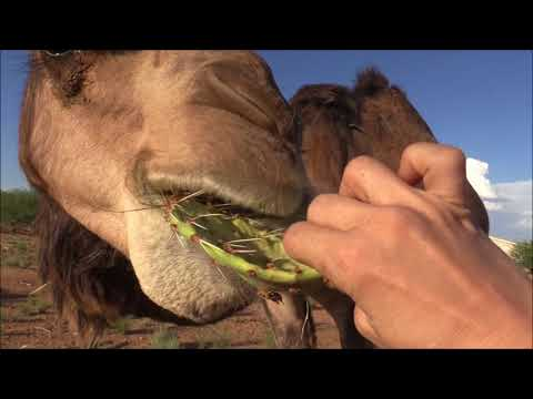 Camel eats cactus in seconds جمل