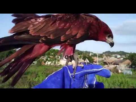 ELANG BONDOL BK (Brahminy Kite) by : Azwhar NTD 31