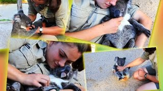 Смешное видео: коала тоже хочет ласки