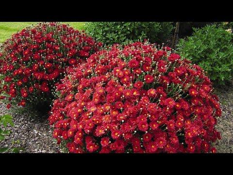 Хризантемы - посадка, уход и размножение.