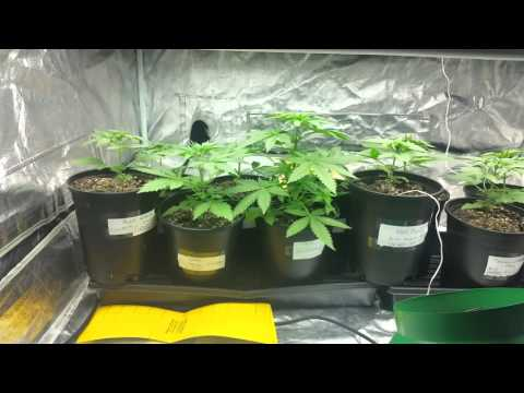 Growing cannabis with Miracle Grow