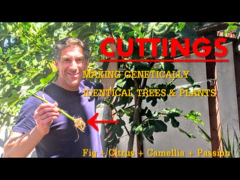 CUTTINGS | MAKING GENETICALLY IDENTICAL TREES & PLANTS | Fig + Citrus + Camellia + Passion Fruit