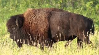 Das Lied an den Heiligen Büffel - Sinchota Maran Schamanismus
