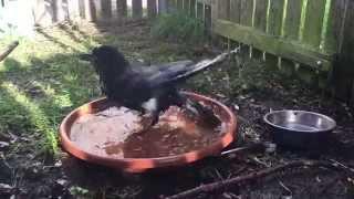 Rabenkrähe Pawlow nimmt ein Bad