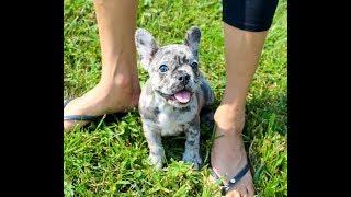 Indigo, our Blue Merle French Bulldog Puppy!  Love! YouTube Videos