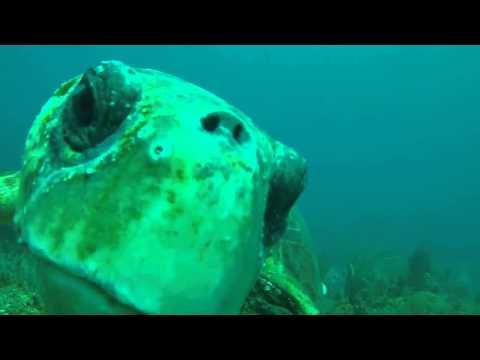 Islamorada, Florida | Feisty Loggerhead turtle