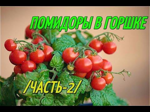 Помидоры в горшке(часть 2). Выращивание помидоров.
