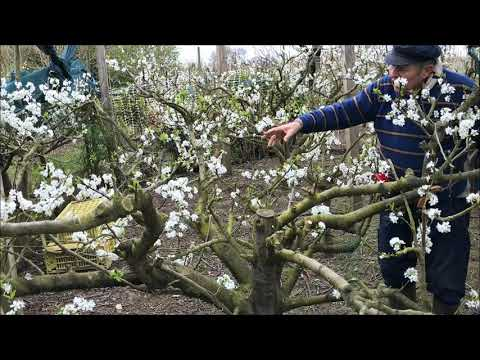How To Grow Greengage Tree - The Open Centre Tree For Plums And Greengages