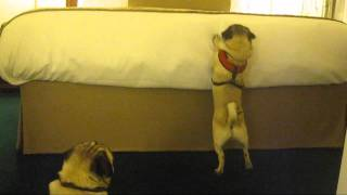 Fawn Pugs Can't Jump