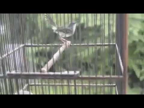 Ini Dia Suara Burung Ciblek Kristal super gacor