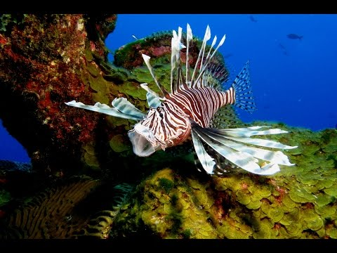 Your Earth is Blue: Lionfish - Terror of the Coral Reefs, Part 3