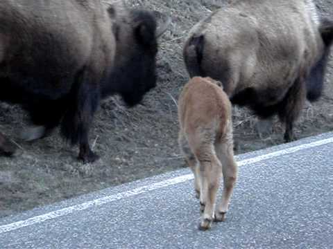 Newborn Buffalo calf in Yellowstone National Park in the early Spring!