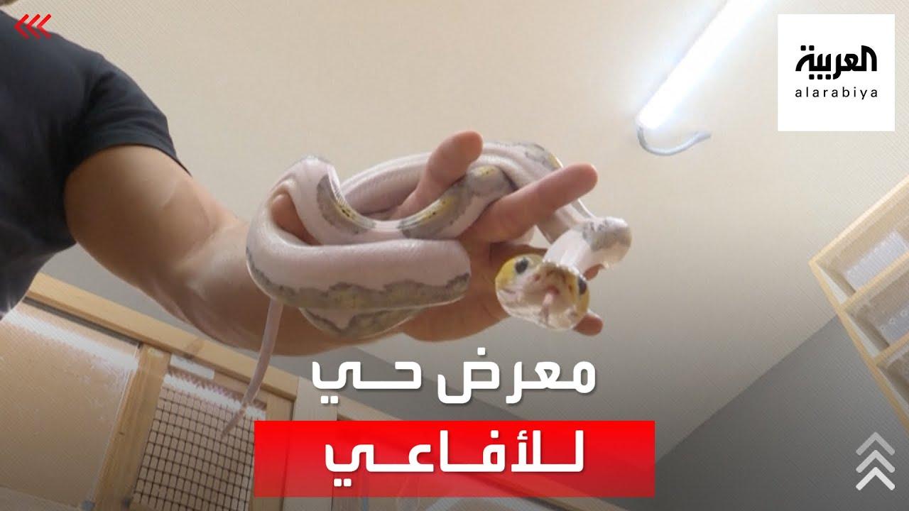 يعتبرها -معرضا فنيا حيا-.. سعودي يجمع الأفاعي ويهجّنها بطريقة استثنائية  - نشر قبل 3 ساعة