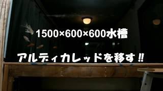 1500×600×600水槽 アルディカレッドを移す‼ アロワナ飼育 紅龍 アルディ 検索動画 39