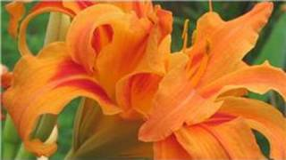 Gardening From Seeds : How to Plant Daylily Seeds