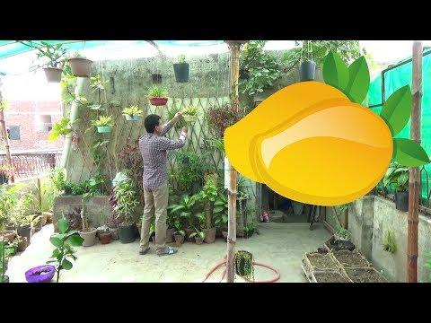 Mango Plantation | Dwarf Mango | Mango Plant Care | Fruit Plants (Urdu/Hindi)