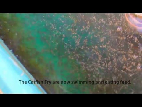 Channel Catfish Eggs Being Hatched And Fry Eating Feed