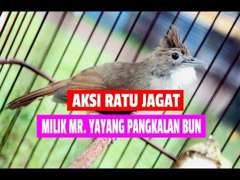 PRESIDEN CUP : Aksi RATU JAGAT Cucak Jenggot Legendaris Kicaumania Milik Mr. Yayang Pangkalan Bun