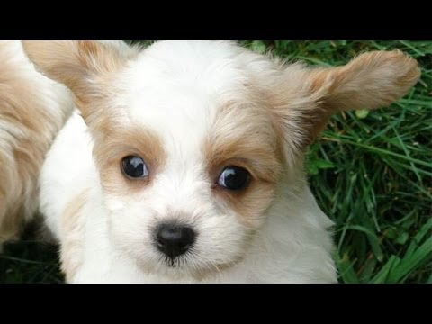 60 Seconds Of Cute Cavachon Puppies!
