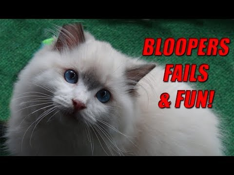 Ragdoll Kitten and Cat Bloopers, Fails & Fun! Hysterically Funny!