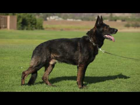 THE WORKING GERMAN SHEPHERD DOG