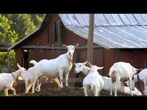 Качественный домашний скот из штата Мэриленд