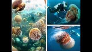 Самая большая медуза в мире (цианея)