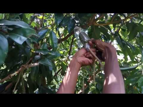 How to Air layer in Lychee tree (New Method 2017).