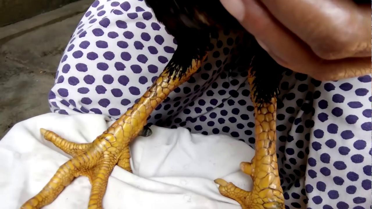 ayam: sisik kaki ayam bangkok super